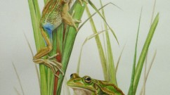 Green and Golden Bell Frog        watercolour       SOLD