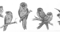 Tawny-Frogmouth-Character-Study