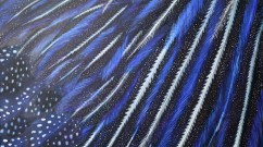 Vulturine-Guineafowl-SOLD
