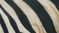 zebra fur close up