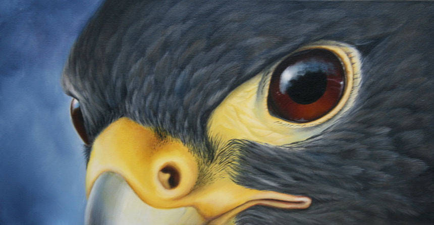Peregrine eye close up
