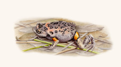 Mahoney's Toadlet      watercolour       SOLD